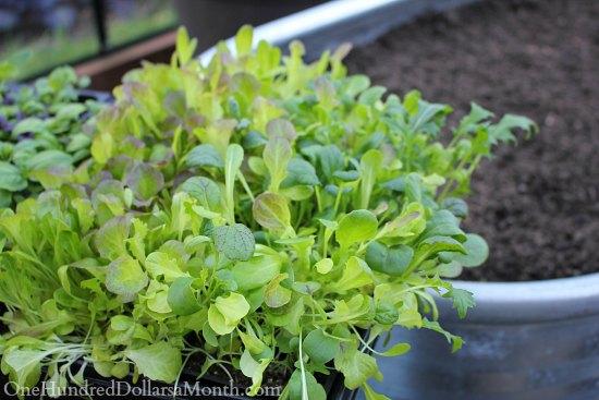 Winter Gardening – Growing Lettuce in a Greenhouse
