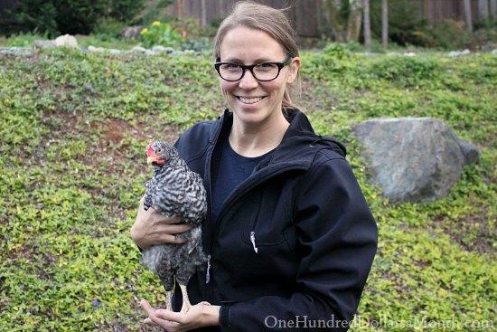 cuckoo maran chicken rooster