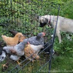 Raising Chickens – Is My Chicken a Rooster?