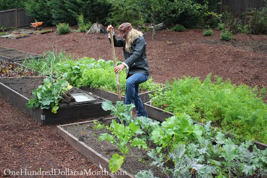 How to Find Vegetable Starts for Your Garden In October – Steal Them From Your Neighbor