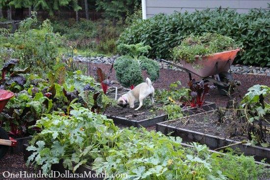 Mavis Garden Blog – Pulling Up Tomato Plants and Re-Planting Strawberries