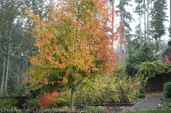 maple tree fall colors leaves