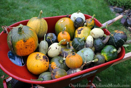 wheelbarrow pumpkins squash