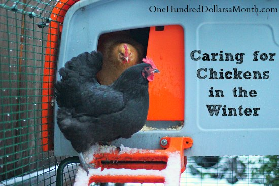 Caring for Chickens in the Winter