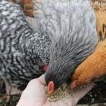 feeding chickens chicken scratch