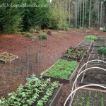 Mavis Butterfield   Backyard Garden Plot Pictures – Week 47 of 52