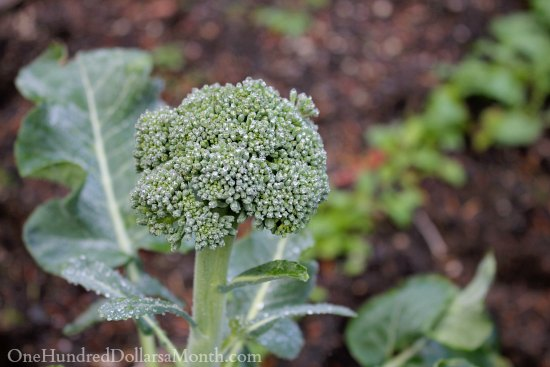 winter broccoli