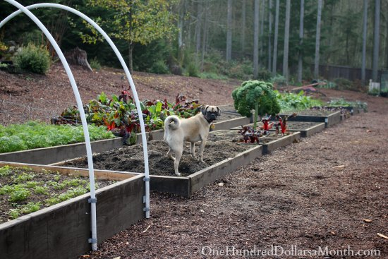 Winter Garden Blog –  Fava Beans, Turnips, Garlic, Beets and More
