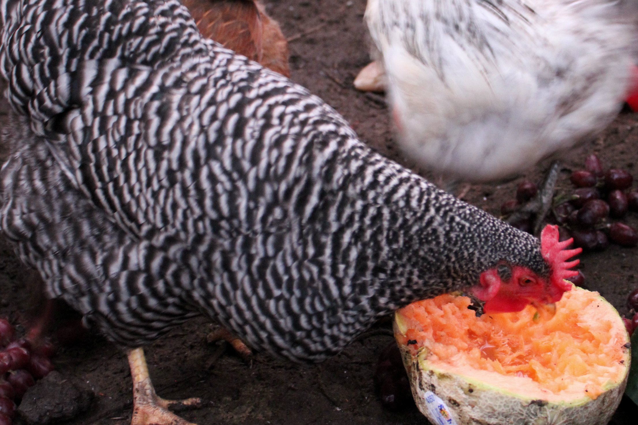 Food Waste In America – Chickens Love Cantaloupes