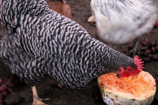 barred rock chicken