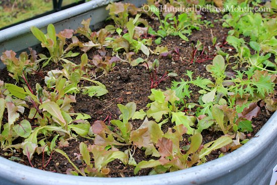 growing lettuce in winter