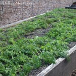 Mavis Butterfield   Backyard Garden Plot Pictures – Week 49 of 52