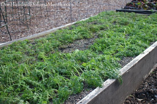 Mavis Butterfield | Backyard Garden Plot Pictures – Week 49 of 52