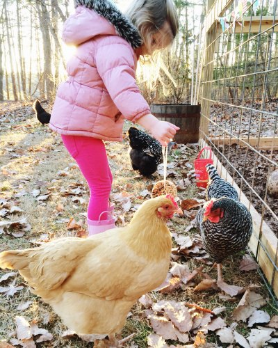 girl feeding a chicken