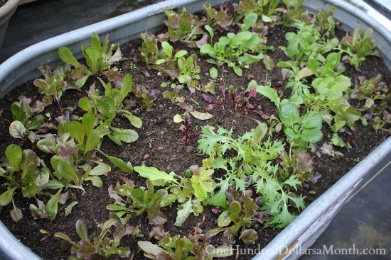 Greenhouse Garden – Growing Winter Lettuce