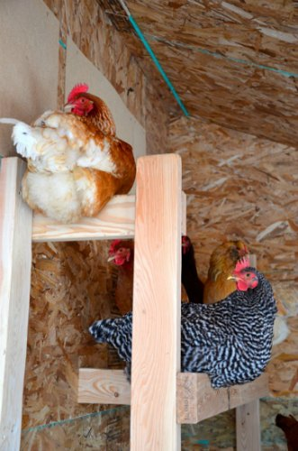roosting chickens