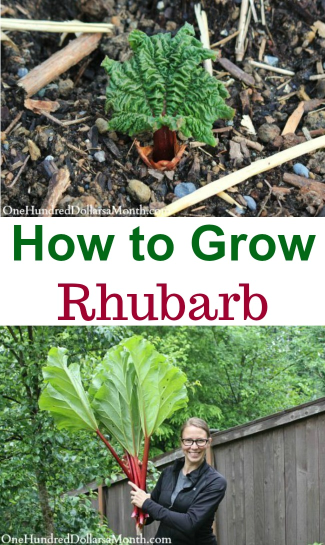 How to Grow Your Own Food: How to Plant Rhubarb
