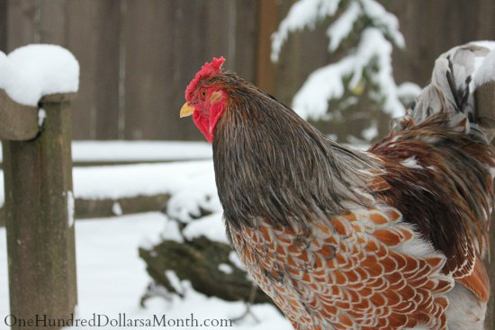 chicken rooster snow