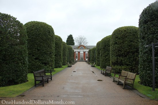 giant boxwood hedges