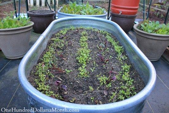 growing lettuce in winter stock tank