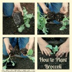 how-to-plant-broccoli