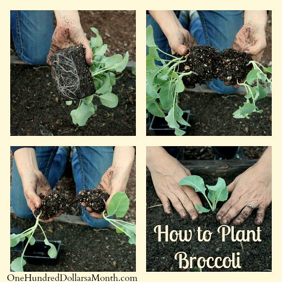 How to Grow Broccoli From Seed