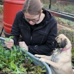 Harvesting Lettuce in Winter with Lucy the Puggle Dog