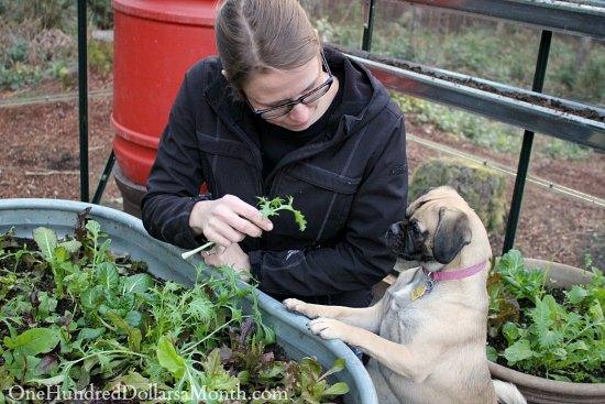 mavis lucy puggle lettuce