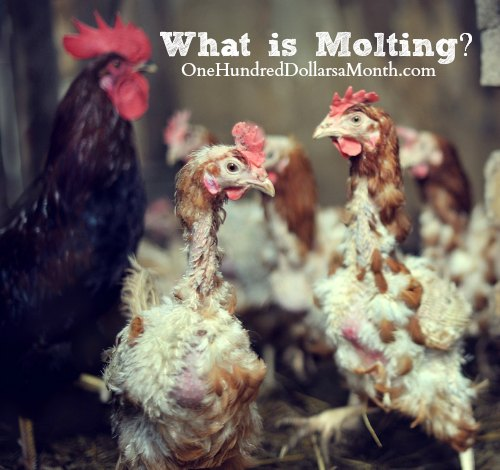 Chickens – What is Molting?
