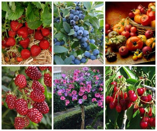 fruit trees bulk strawberry plants