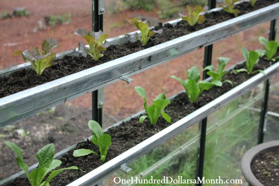 growing lettuce in gutters