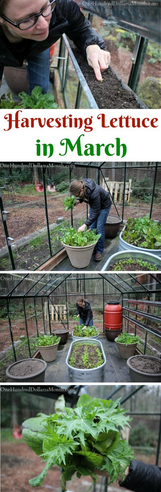 Mavis Garden Blog – Harvesting Lettuce in March