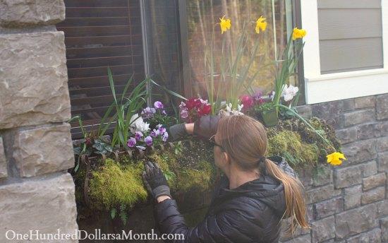 Mavis Garden Blog – Window Boxes and Raspberries