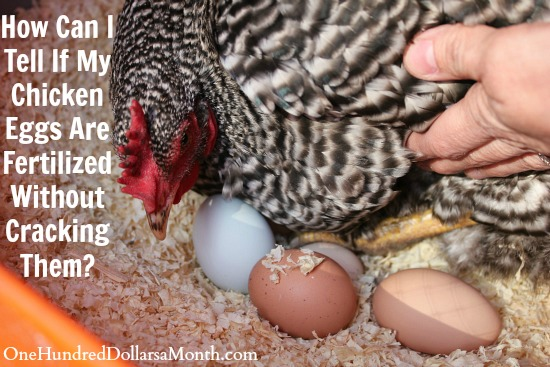 How Can I Tell If My Chicken Eggs Are Fertilized Without Cracking Them?