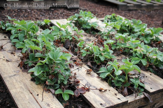 growing strawberries in pallets