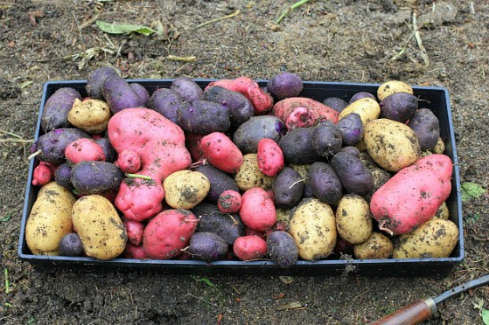 Heirloom and Fingerling Potatoes