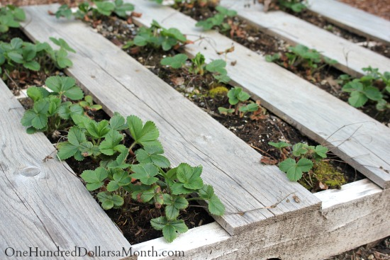 Pallet Gardening – Growing Lettuce and Strawberries Together in Pallets