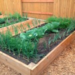 cabbage and onions growing in a garden box