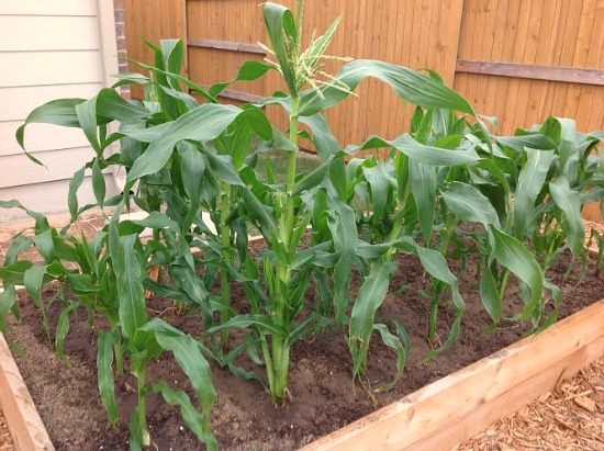 corn growing in a garden box