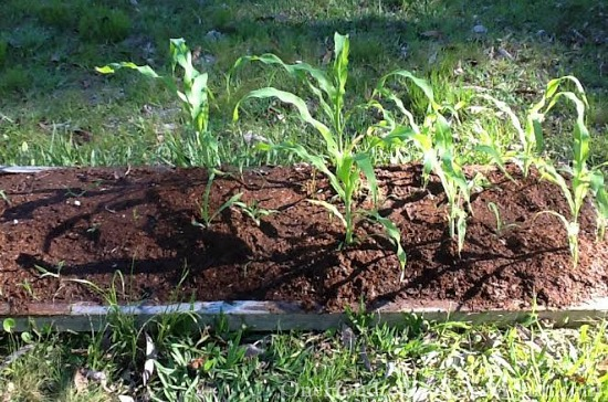 corn in raised garden beds