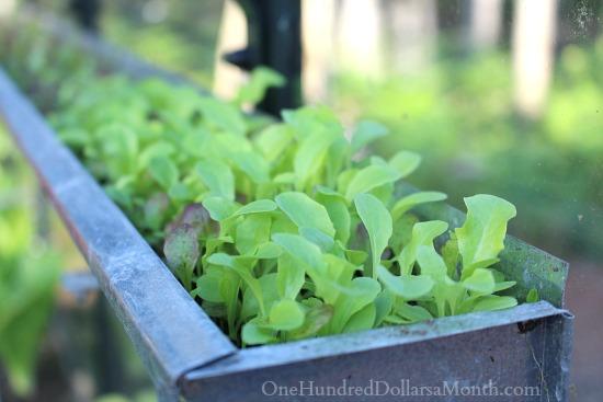 growing lettuce in gutters