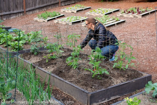 growing tomatoes in the garden