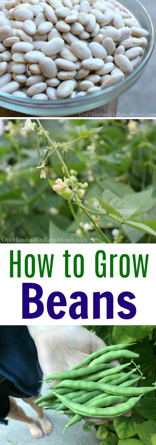 How to Grow Beans {Start to Finish}