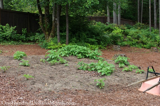 lasagna garden
