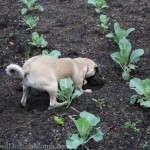 lucy the puggle dog digging up cabbage plants