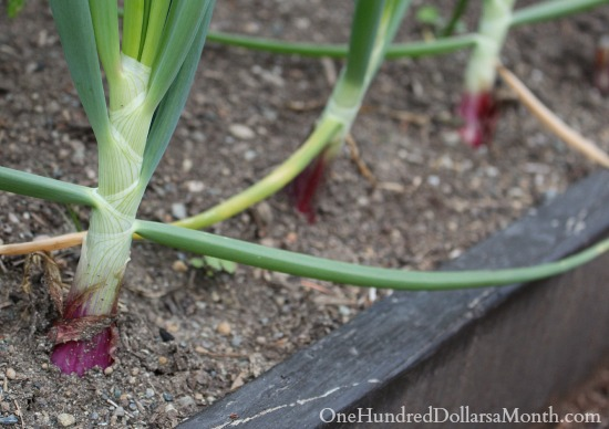 red onions growing in a planter box