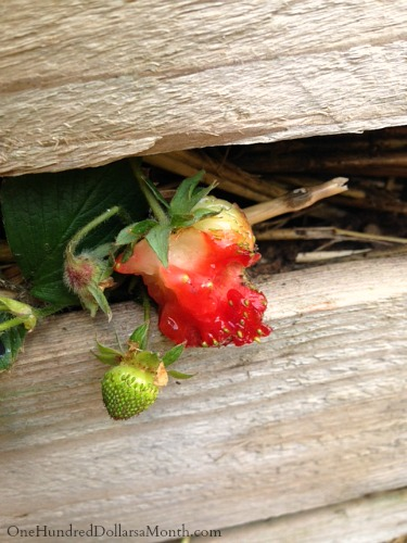 slugs eating my strawberries