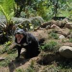 Tasmania devil