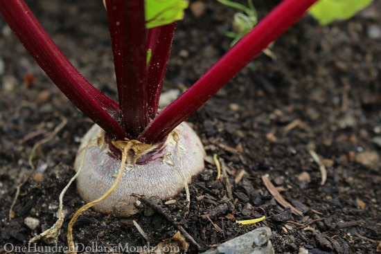 bills blood beet ready to be harvested