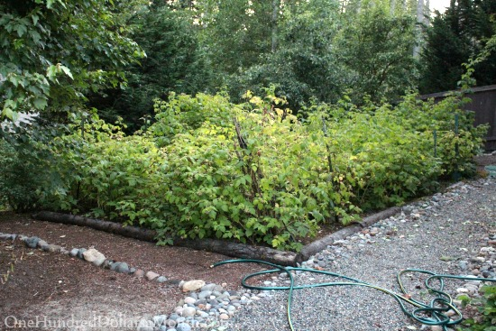 cascade raspberry patch
